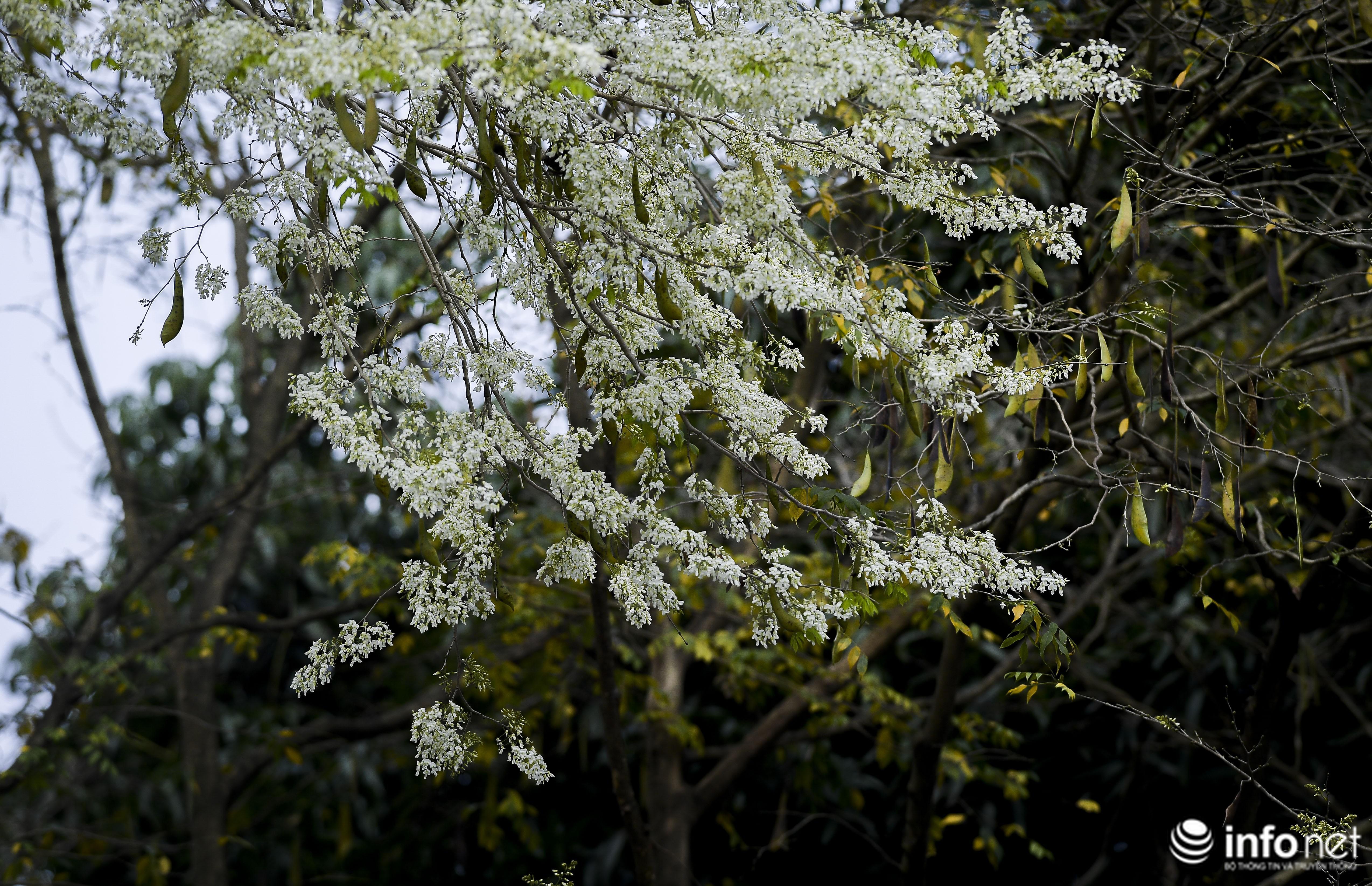Ngắm hoa sưa nở trắng phố phường Hà Nội Ảnh 4