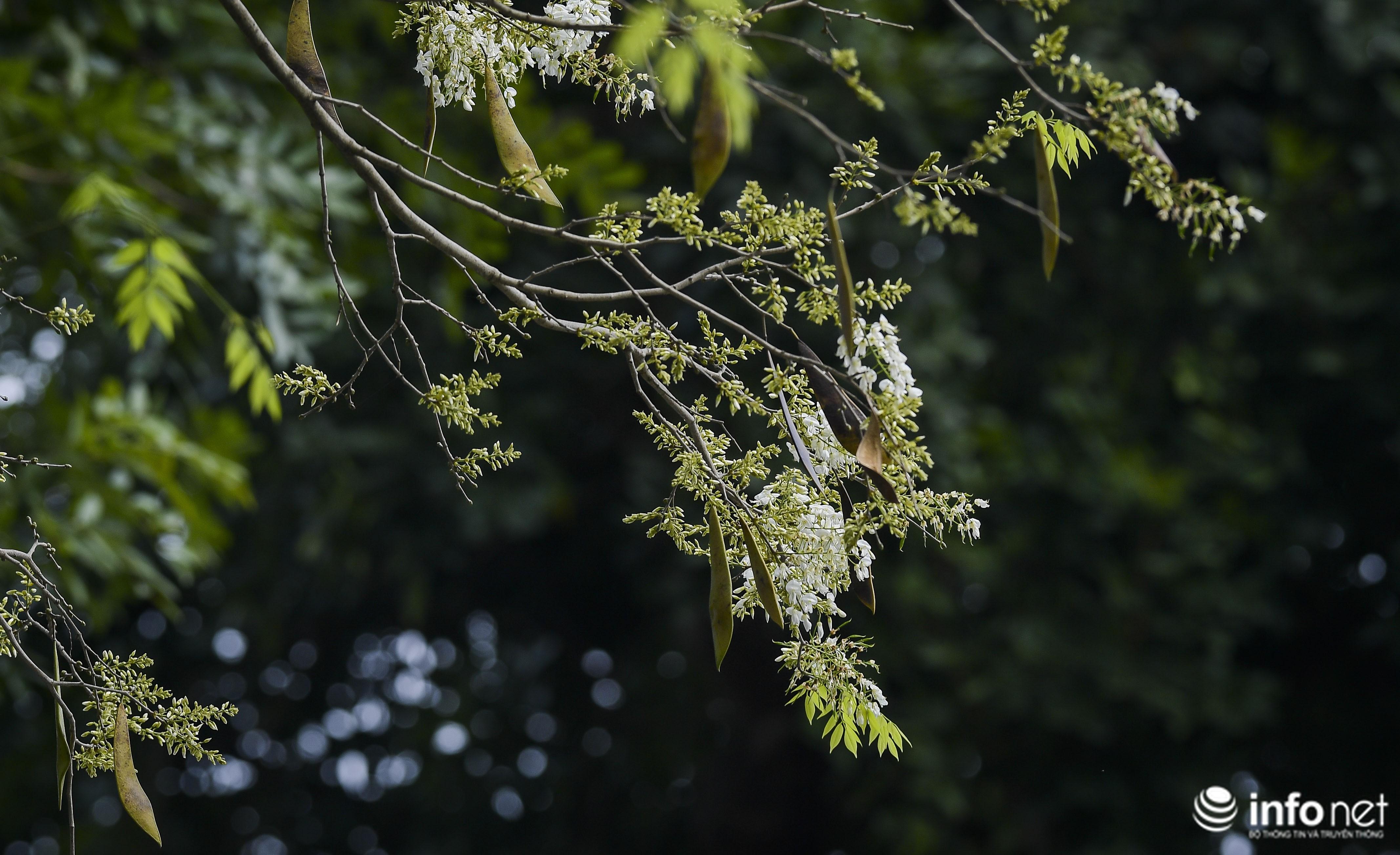 Ngắm hoa sưa nở trắng phố phường Hà Nội Ảnh 2