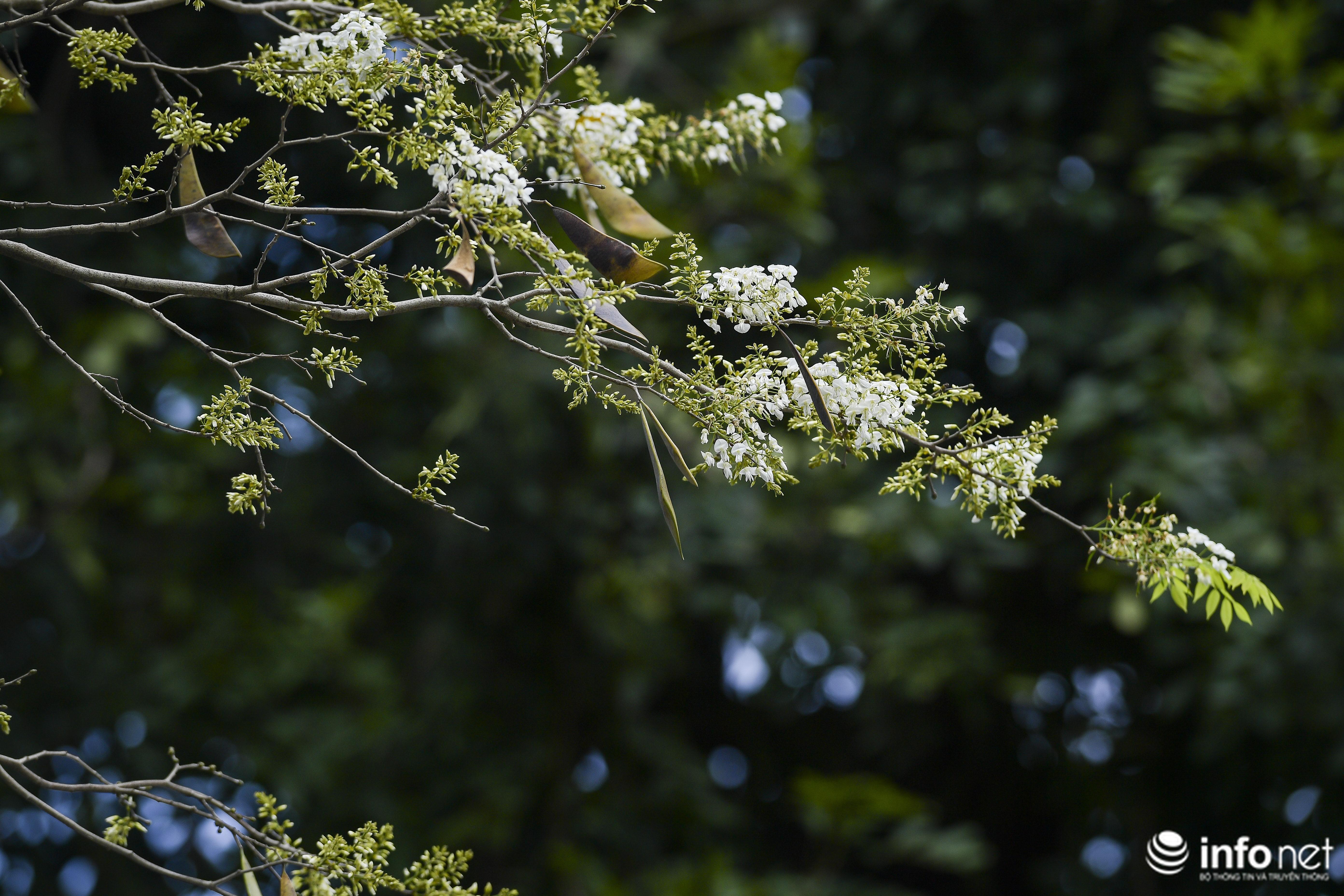 Ngắm hoa sưa nở trắng phố phường Hà Nội Ảnh 5
