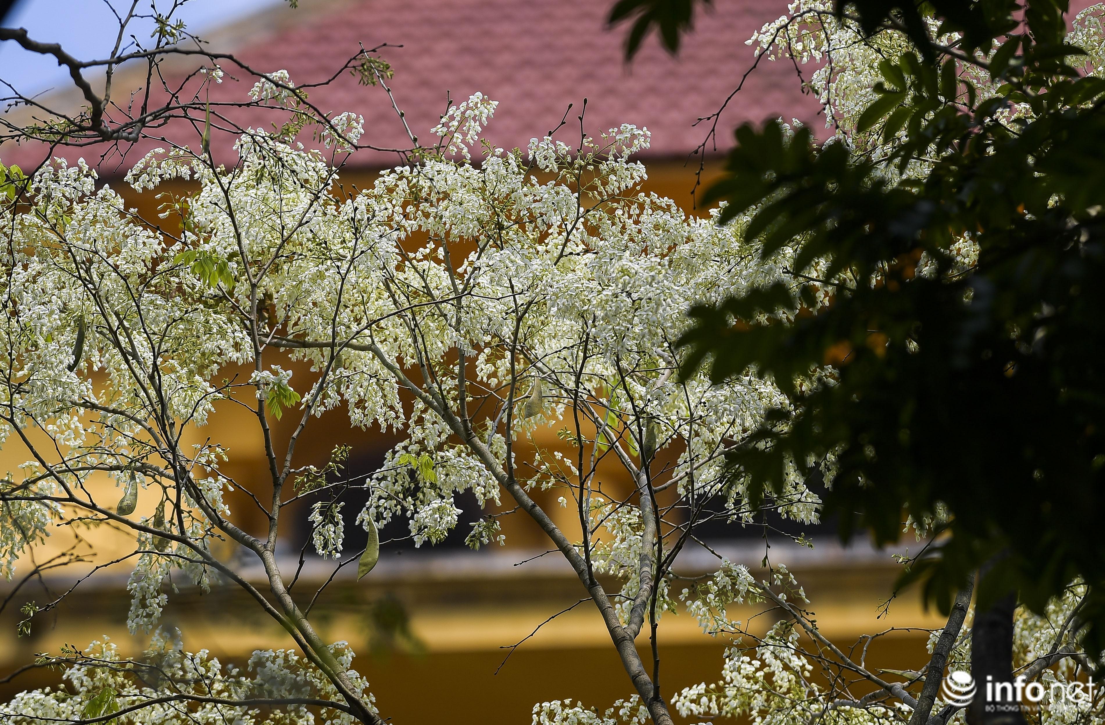 Ngắm hoa sưa nở trắng phố phường Hà Nội Ảnh 16