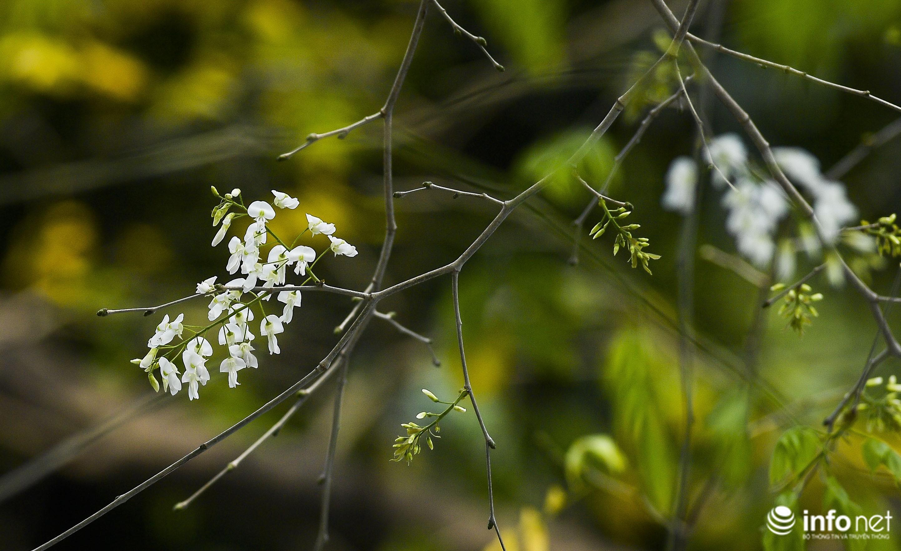 Ngắm hoa sưa nở trắng phố phường Hà Nội Ảnh 7