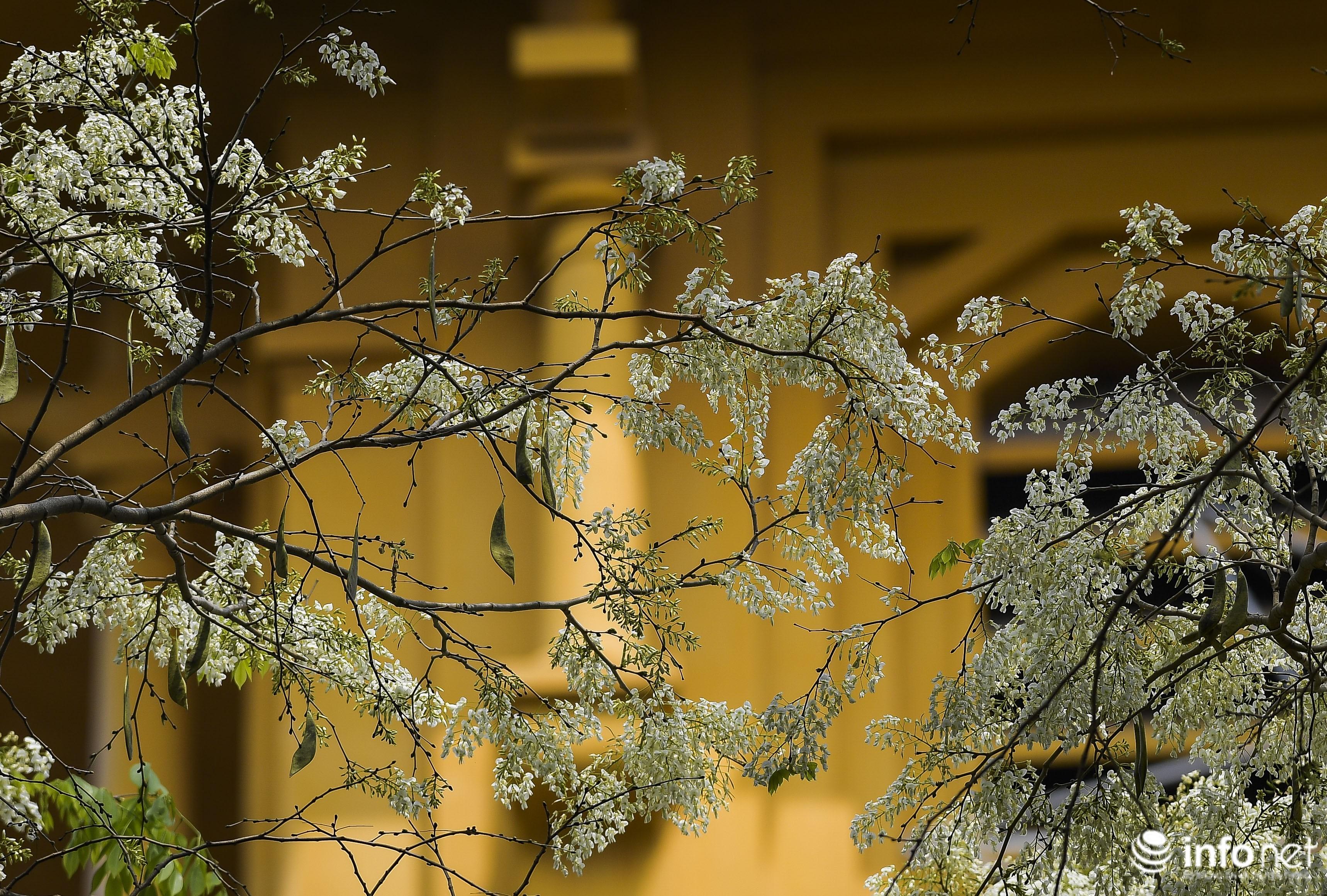 Ngắm hoa sưa nở trắng phố phường Hà Nội Ảnh 17
