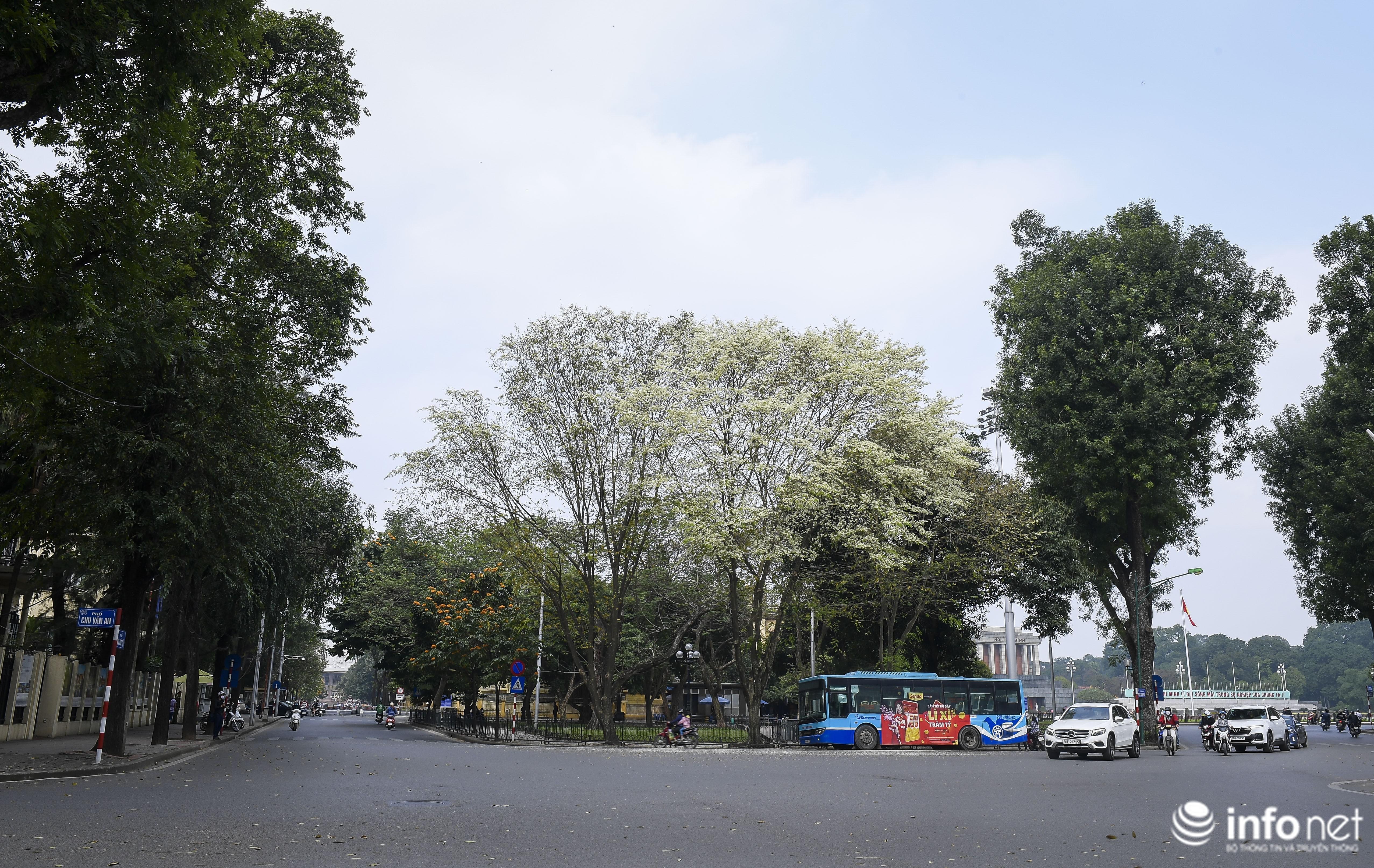 Ngắm hoa sưa nở trắng phố phường Hà Nội Ảnh 1