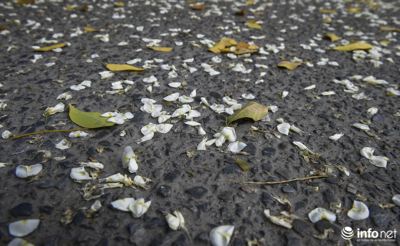 Ngắm hoa sưa nở trắng phố phường Hà Nội Ảnh 6