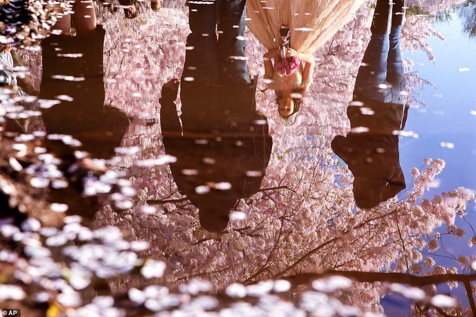 Hàng trăm người đổ xô đi ngắm hoa anh đào ở Mỹ giữa đại dịch Covid-19 Ảnh 10