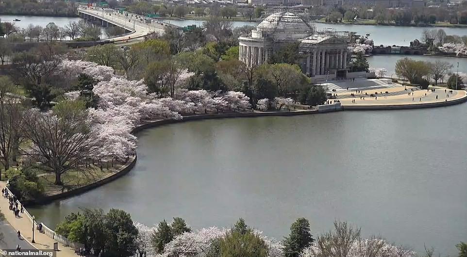 Hàng trăm người đổ xô đi ngắm hoa anh đào ở Mỹ giữa đại dịch Covid-19 Ảnh 11