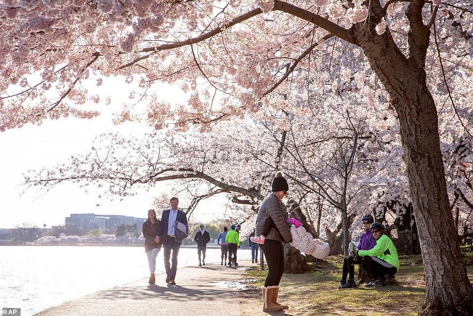Hàng trăm người đổ xô đi ngắm hoa anh đào ở Mỹ giữa đại dịch Covid-19 Ảnh 2