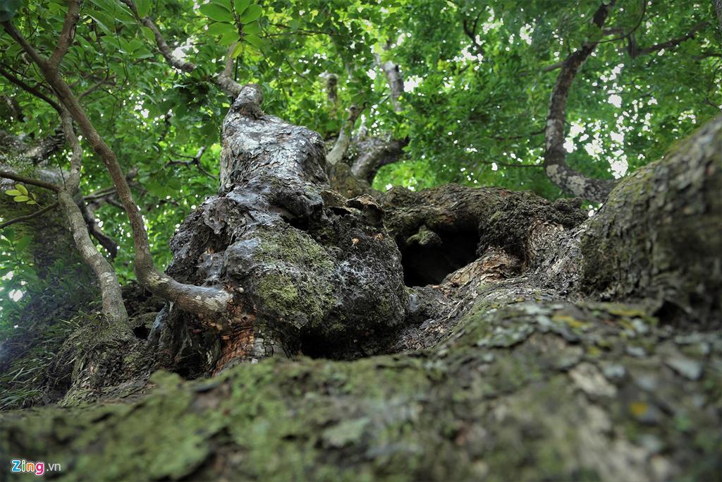 5 cây thị cổ thụ gần 700 năm tuổi, nơi trú ẩn của bộ đội thời chiến Ảnh 7