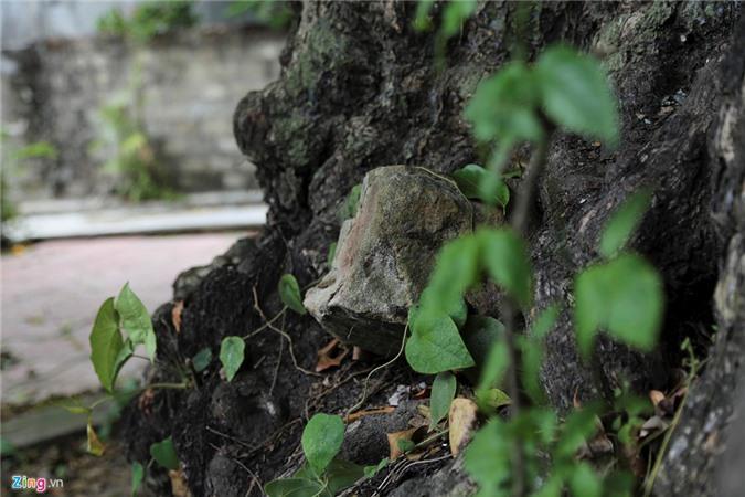5 cây thị cổ thụ gần 700 năm tuổi, nơi trú ẩn của bộ đội thời chiến Ảnh 6
