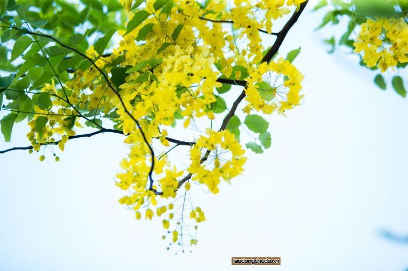 Rực rỡ sắc vàng muồng hoàng yến ven Hồ Tây Ảnh 4