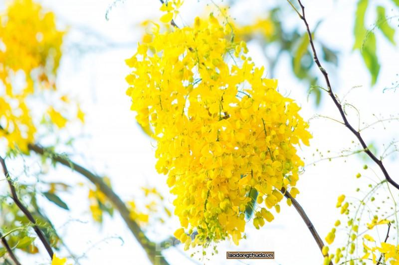 Rực rỡ sắc vàng muồng hoàng yến ven Hồ Tây Ảnh 7