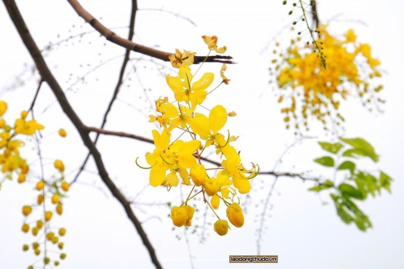 Rực rỡ sắc vàng muồng hoàng yến ven Hồ Tây Ảnh 6
