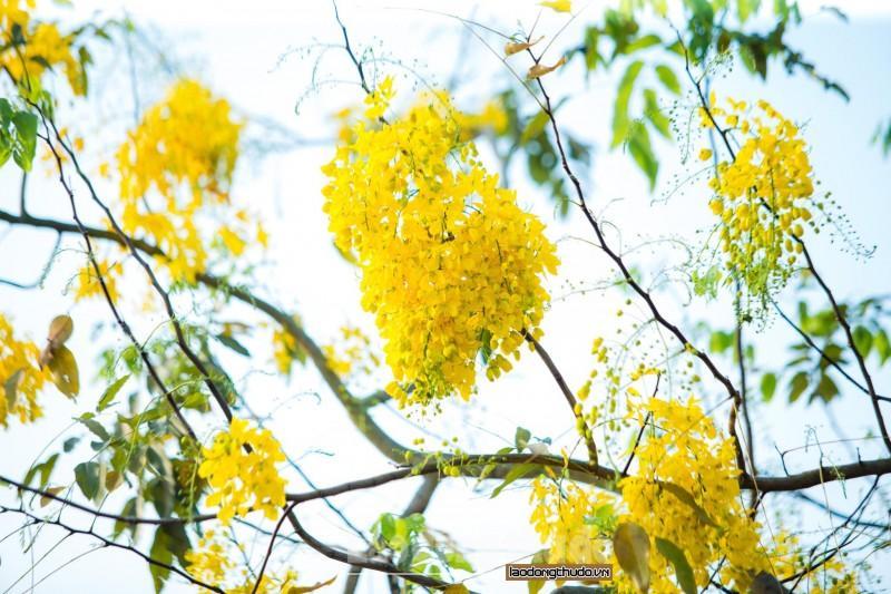 Rực rỡ sắc vàng muồng hoàng yến ven Hồ Tây Ảnh 3