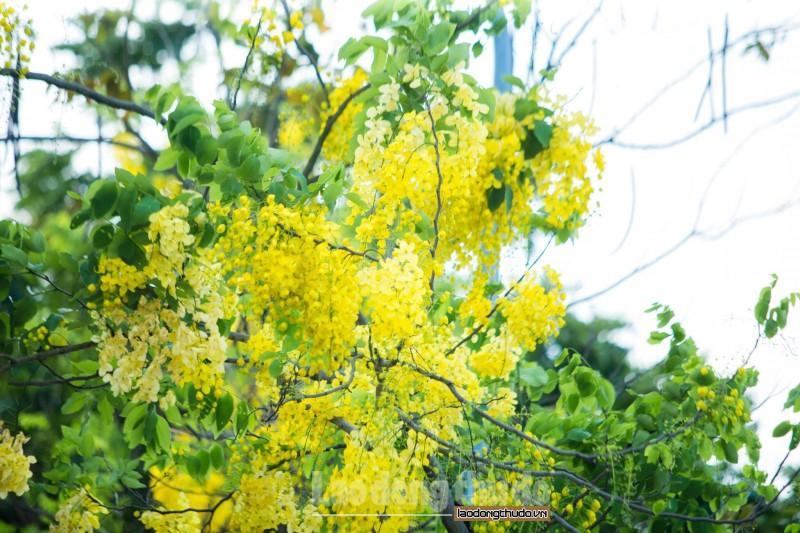Rực rỡ sắc vàng muồng hoàng yến ven Hồ Tây Ảnh 2