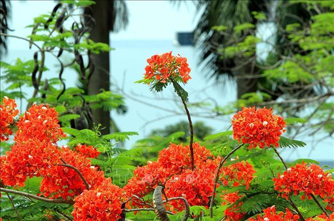 Hải Phòng - Tháng 5 rợp trời hoa phượng đỏ Ảnh 1