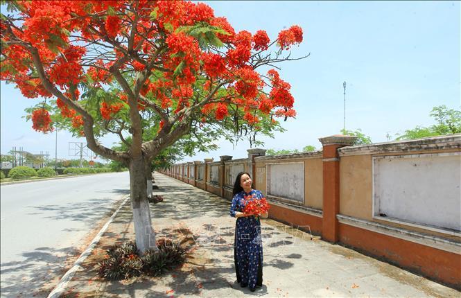 Hải Phòng - Tháng 5 rợp trời hoa phượng đỏ Ảnh 3