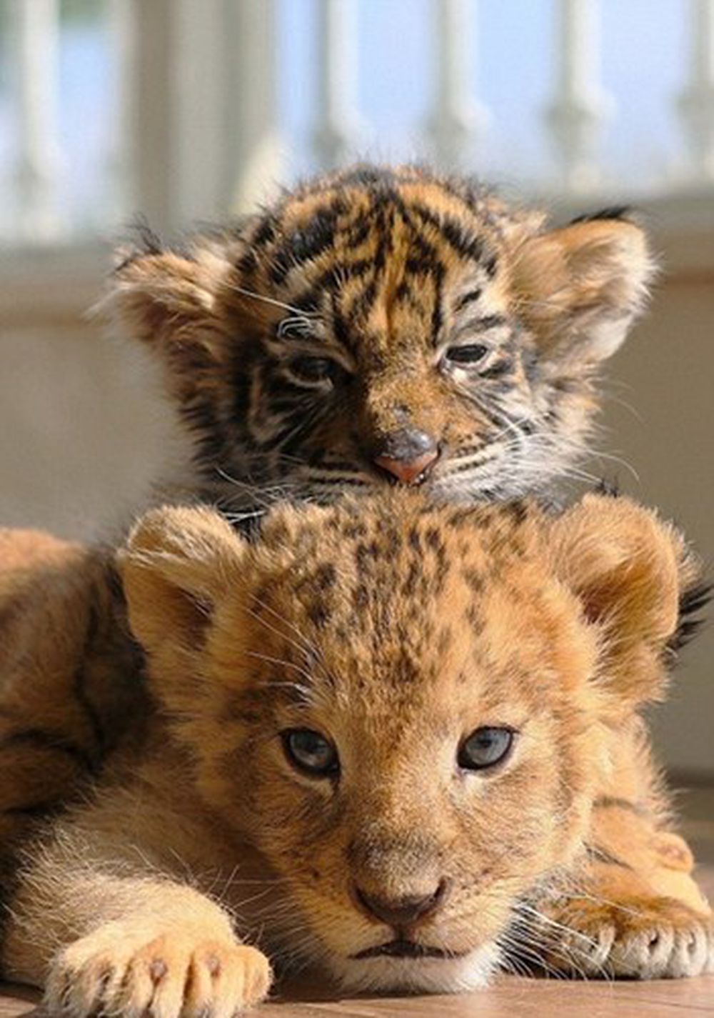 Theo thông tin đăng tải, cặp đôi bạn thân khác loài này dường như không hề biết đến sự khác biệt về loài của nhau. (Nguồn Dailymail)