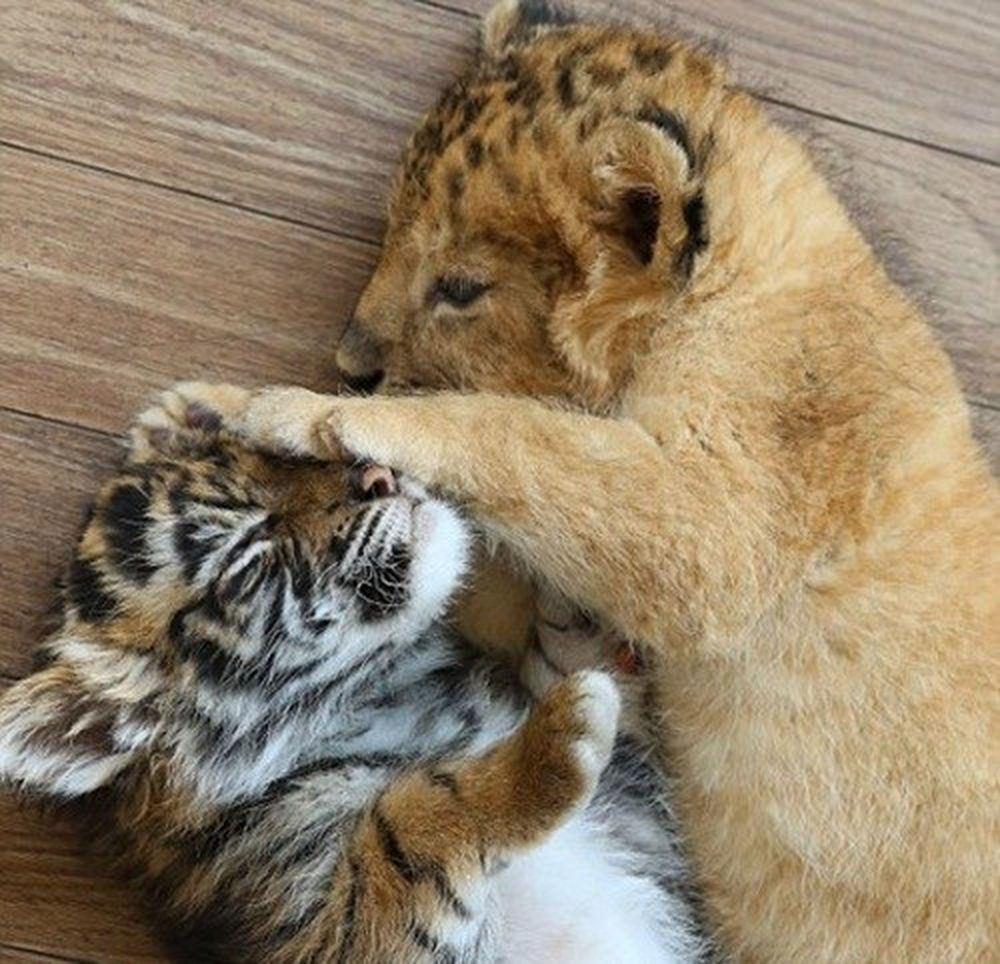 ... bạn thân hổ và sư tử con khiến nhiều người không khỏi thích thú, ngày qua ngày mong đợi những hình ảnh mới về cuộc sống của đôi bạn. (Nguồn Dailymail)