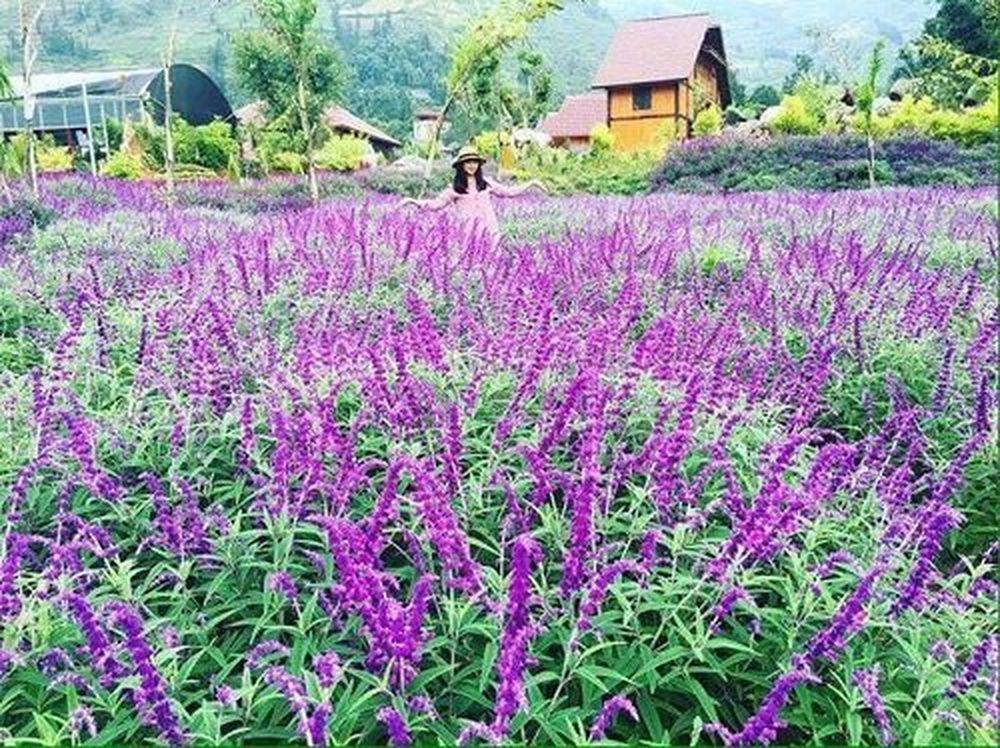 cánh đồng hoa oiar hương Lào Cai
