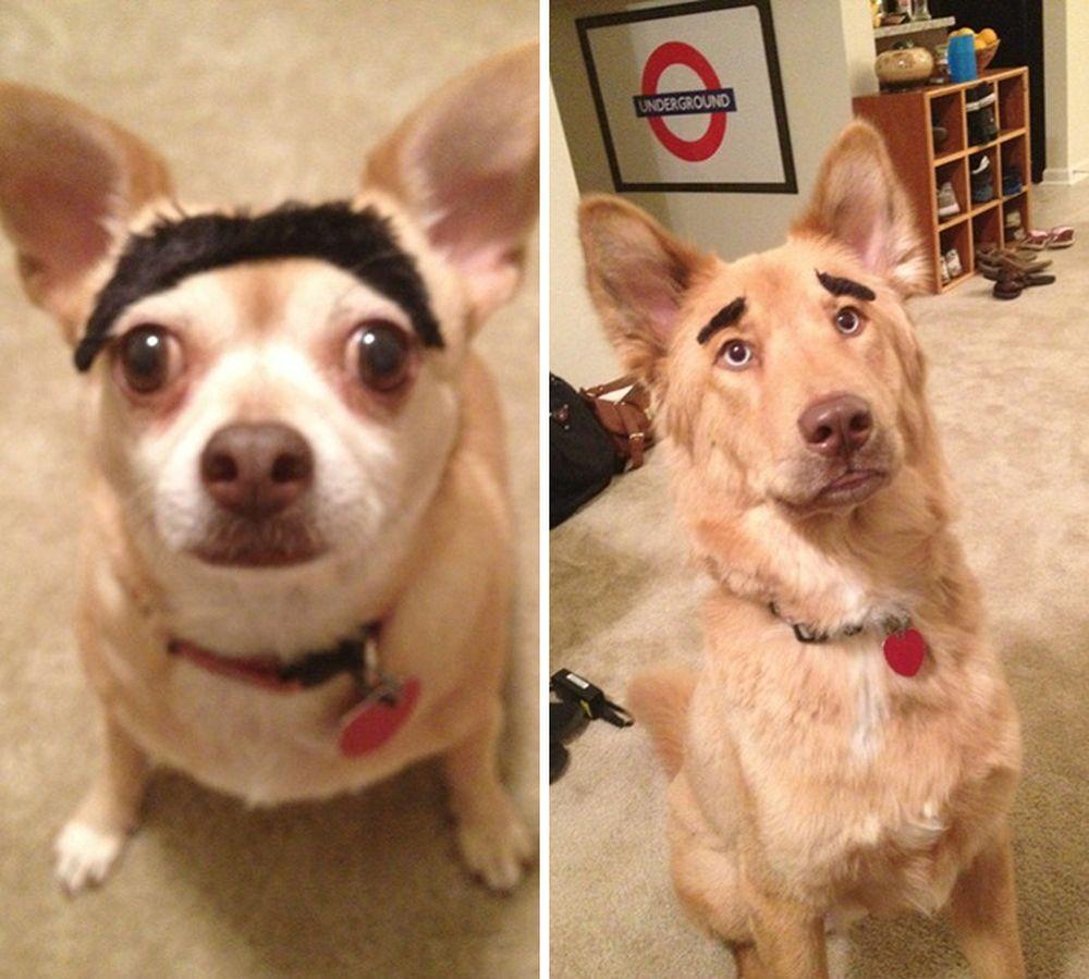 Cặp lông mày nối liền siêu dị của chú chó .