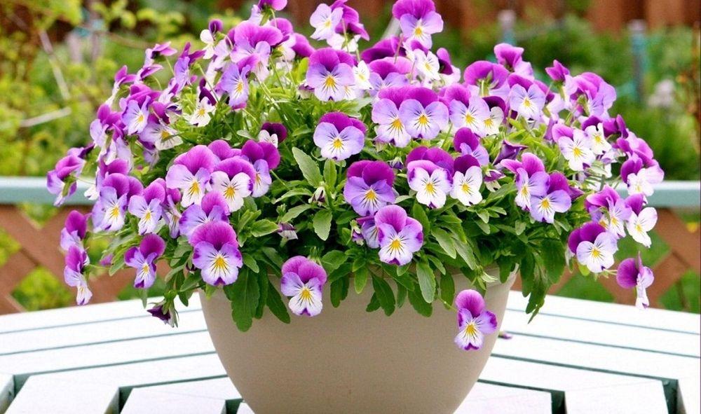 Kết quả hình ảnh cho nguồn gốc hoa pansy