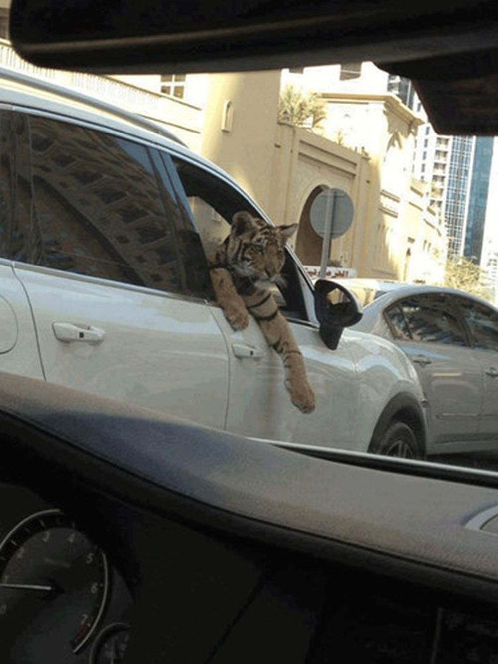 Картинки по запросу tiger in car dubai
