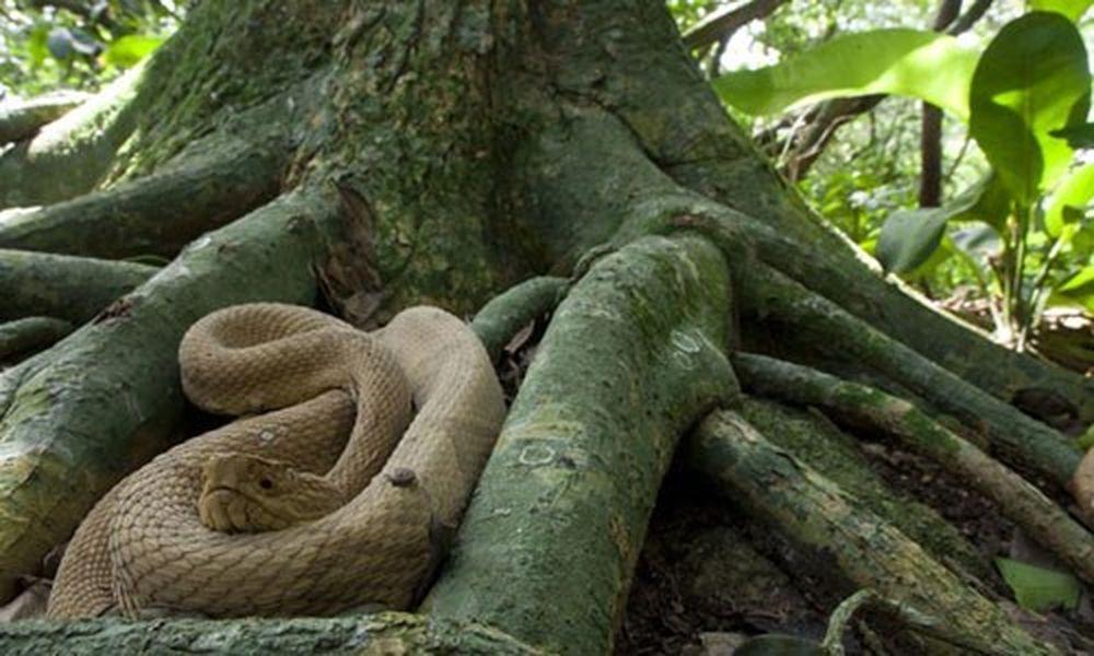 Đảo Rắn ở Brazil trở thành địa điểm nguy hiểm đáng sợ trên thế giới khi có  tới lượng lớn rắn cư ngụ tại đây. Theo ước tính, 5 con rắn sống ...