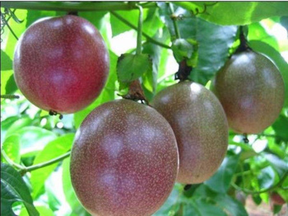 Kết quả hình ảnh cho kỹ thuật trồng cây chanh leo ngọt