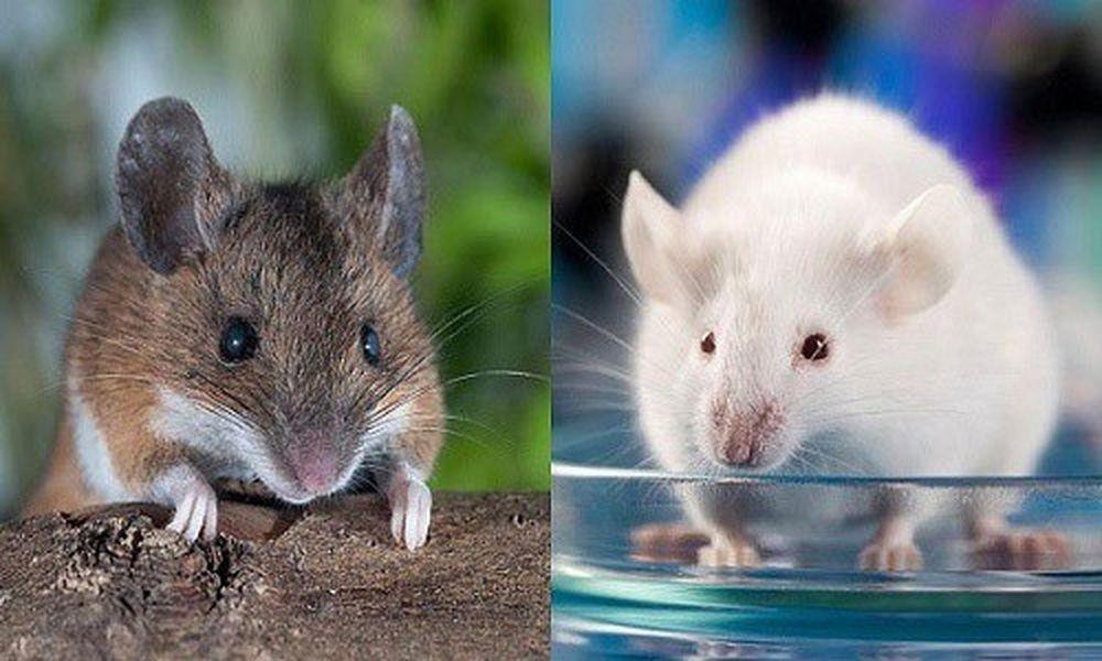 Chuột Dường Như Là Loài Vật Được Sinh Ra Cho Khoa Học.