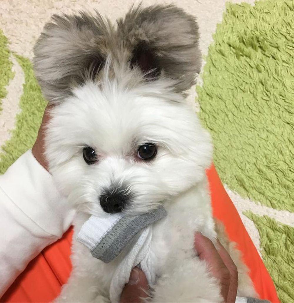 Картинки по запросу собака с ушками микки мауса