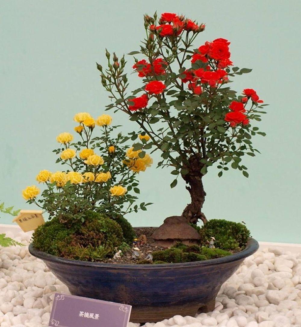 Bonsai Hoa Nhật Bản Sieu đẹp Thơm Ngất Ngay Vietnamdaily