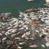 Cả tấn cá chết nổi trắng hồ điều tiết ở Đà Nẵng