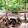 Nuôi lợn mán dưới tán 400 cây cao su cho thu nhập 'khủng'