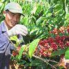Xuất khẩu đột biến, kéo giá cà phê tăng