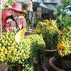 Làng hoa, cây kiểng Bến Tre tất bật đón Tết