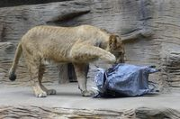 Hài hước sư tử săn lợn rừng giấy luyện tập kỹ năng