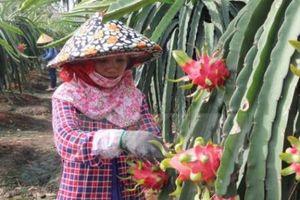 Nâng cao chất lượng cây ăn quả tại Long An