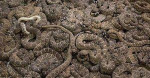 Hòn đảo chỉ 1km2 nhưng là hang ổ của 20.000 con rắn cực độc