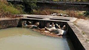 Khánh Hòa: Heo chết thả trôi đầy dòng kênh, nguy cơ ô nhiễm