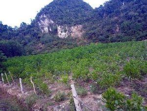Bắt khẩn cấp nghi phạm phá hoại vườn keo hơn 3.000 cây của hàng xóm