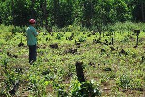 Rừng thông liên tục bị đầu độc