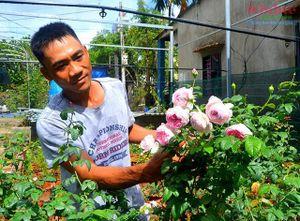 Thăm 'vương quốc' hoa hồng ở Điện Bàn