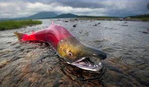 Cá hồi đực chấp nhận hi sinh để bảo vệ con cái đẻ trứng