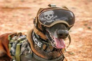Quân đội Mỹ phát triển mũ bảo vệ tai cho chó nghiệp vụ