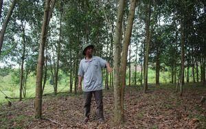 Đắk Lắk: Cuộc sống thay đổi, ấm no nhờ rừng trồng