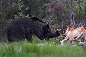 Cận cảnh gấu nâu đại chiến sói xám giành mồi