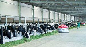 Xuân về trên những 'resort' bò sữa Vinamilk