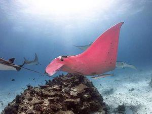 Thấy cá đuối hồng khổng lồ cực hiếm, nhiếp ảnh gia tưởng máy hỏng