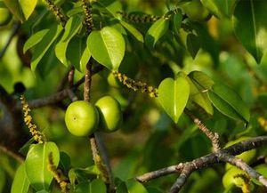 Loài cây nào độc đến nỗi khi đứng cạnh cũng có thể khiến con người mất mạng?