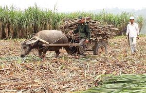 Phú Yên: Bà con đề phòng hỏa hoạn khi thu hoạch mía
